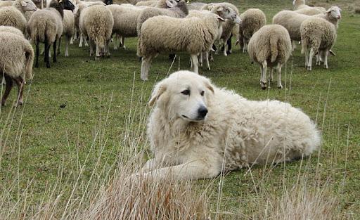 Cambia nome il guardiano delle greggi: sarà cane da pastore abruzzese